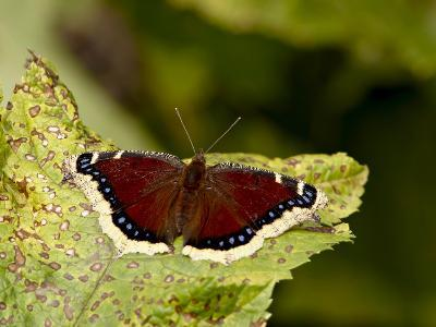 Mourning Cloak (Camberwell Beauty) (Nymphalis Antiopa), Palmer, Alaska, USA