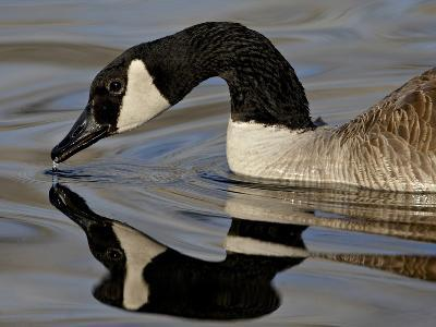Canada Goose With Reflection While Swimming and Drinking, Denver City Park, Denver