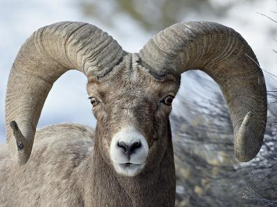 Bighorn Sheep (Ovis Canadensis) Ram, Yellowstone National Park, Wyoming,