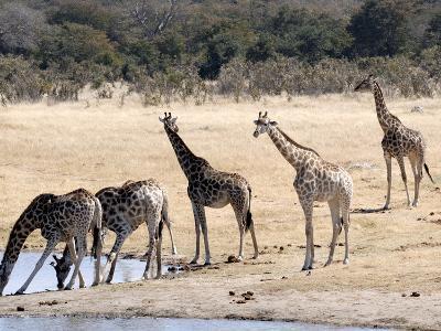 Giraffes at Waterhole, Hwange National Park, Zimbabawe, Africa