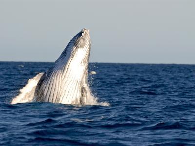 Humpback Whale (Megaptera Novaeangliae), Ile Sainte Marie, Madagascar, Indian Ocean, Africa