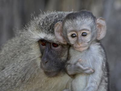 Vervet Monkey (Chlorocebus Aethiops) Infant and Mother, Kruger National Park, South Africa, Africa