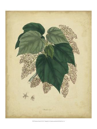 Engelmann Botanical VII