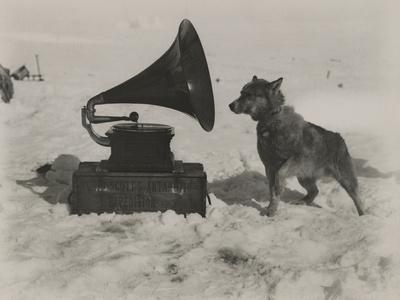 One of Scott's Sled Dogs Listens to a Gramaphone While on Expedition to the South Pole