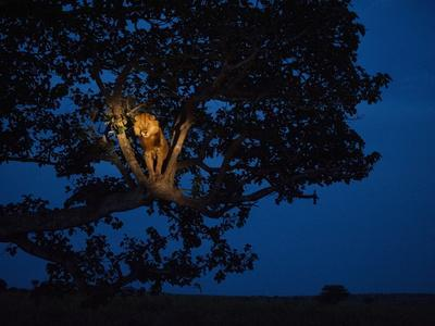 An African lion climbs a tree to sleep.