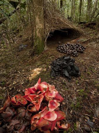 Acorns, Black Fungi and Pandanus Flowers Lead to a Vogelkop's Bower