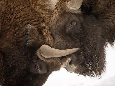 Conservationists Reintroduced the Iconic European Bison to Poland's Bialowieza Forest