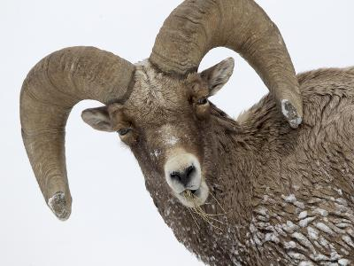 A Bighorn Sheep, Ovis Canadensis, Eating Grasses in the Snow