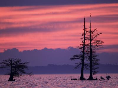 Tundra Swans, Cygnus Columbianus, Wait for the Sunrise on a Lake