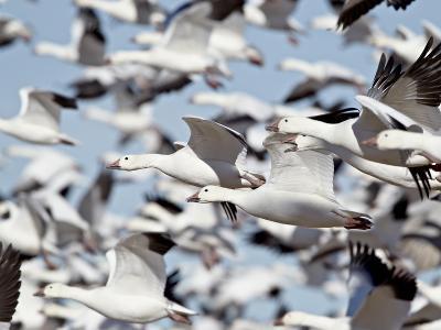 Flock of Snow Goose (Chen Caerulescens) Blasting Off, Bosque Del Apache National Wildlife Refuge, N