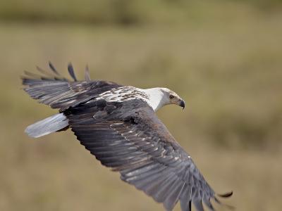 African Fish Eagle (Haliaeetus Vocifer) in Flight, Serengeti National Park, Tanzania, East Africa,