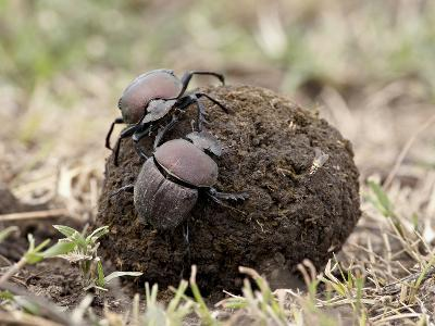 Two Dung Beetles Atop a Ball of Dung, Serengeti National Park, Tanzania, East Africa, Africa
