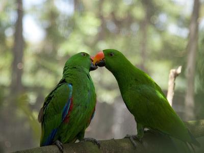 Male Eclectus Parrots (Eclectus Roratus), the Wildlife Habitat, Port Douglas, Queensland, Australia