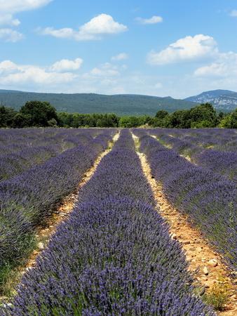 Lavender Fields around Roussillon, Parc Naturel Regional Du Luberon, Vaucluse, Provence, France, Eu