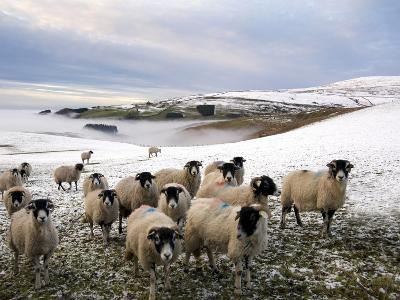 Sheep Waiting to Be Fed in Winter, Lower Pennines, Cumbria, England, United Kingdom, Europe
