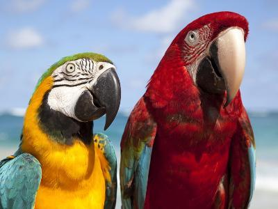 Colourful Parrots, Punta Cana, Dominican Republic, West Indies, Caribbean, Central America
