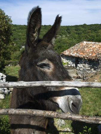 Donkey in Rural Setting, Cres Island, Kvarner Gulf, Croatia, Europe