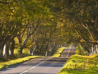 The Winding Road Through the Beech Avenue at Kingston Lacy, Dorset, England, United Kingdom, Europe