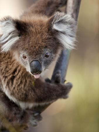 Wild Koala in Eucalyptus Tree, Great Ocean Road, Great Otway National Park, Victoria, Australia
