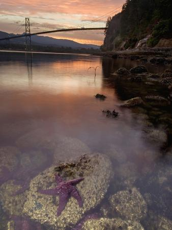Purple Sea Star (Asterias Ochracea) and Lions Gate Bridge, Stanley Park, British Columbia, Canada