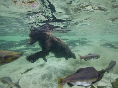 Grizzly Bear Swimming after Spawning Salmon in Kuliak Bay, Katmai National Park, Alaska, Usa