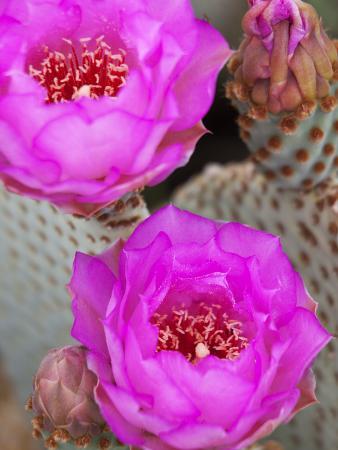 Flowering Beavertail Cactus, Joshua Tree National Park, California, Usa