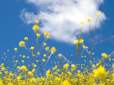 Field Mustard, Brassica Campestris, Lafayette Reservoir, Lafayette, California, Usa