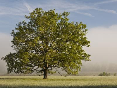 Tree at Sunrise, Cades Cove, Great Smoky Mountains National Park, Tennessee, Usa