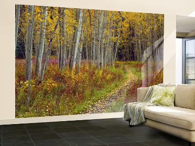 Footpath Through Autumn Aspen Trees, San Isabel National Forest, Colorado, Usa