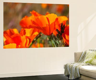 Poppies, Antelope Valley Near Lancaster, California, Usa