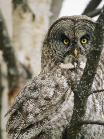 A Great Gray Owl, Perched in a Tree, Stares Directly at the Camera