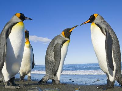 King Penguins Standing and Interacting on the Beach on a Fall Evening