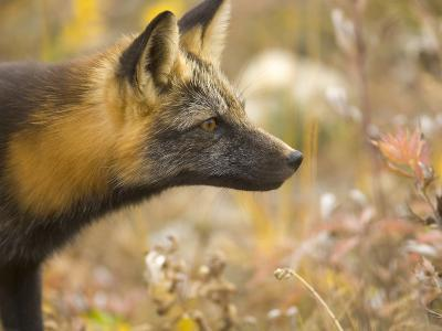 Close Portrait of an Alert Red Fox Hunting in Autumn Hued Tundra