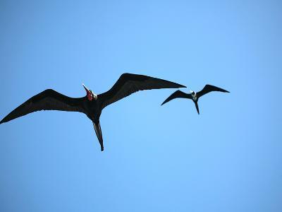 Ecuador, Galapagos, a Male and Female Frigate Bird Soar Overhead