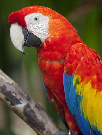 Bali, Ubud, a Greenwing Macaw Poses at Bali Bird Park