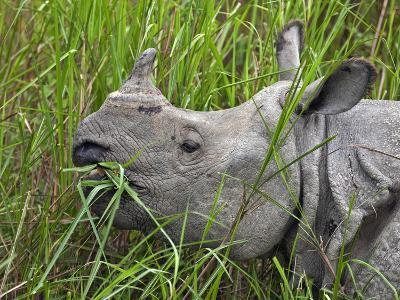 Great Indian One-Horned Rhino Feeds on Swamp Grass in Kaziranga National Park, World Heritage Site