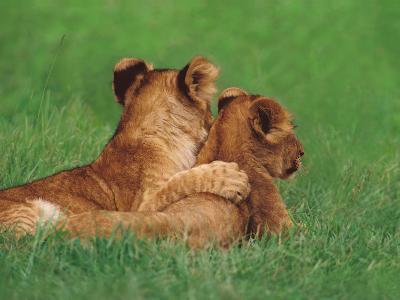 Lion Cubs, Masai Mara Reserve, Kenya