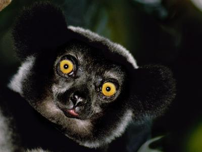 Indri Male, Madagascar