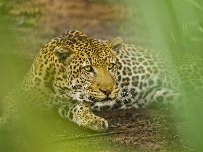 Leopard, Niokolo-Koba National Park, Senegal