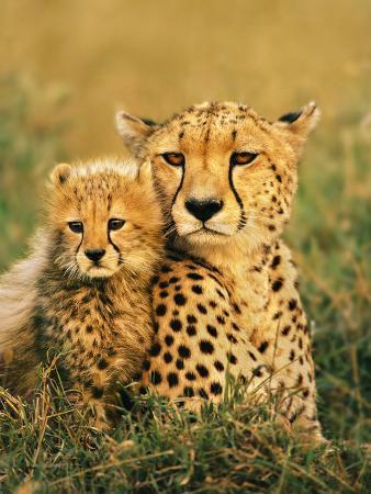 Cheetah and Cub, Masai Mara Reserve, Kenya