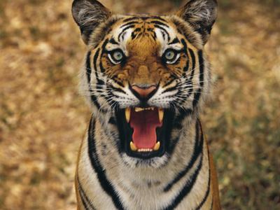 Bengal Tiger Snarling, Western Ghats, India