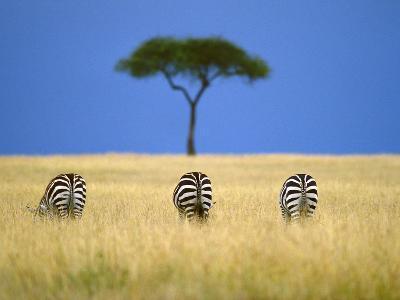 Zebras Grazing, Masai Mara Reserve, Kenya