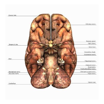Biomedical Illustration of the Underside of the Human Brain, Labels