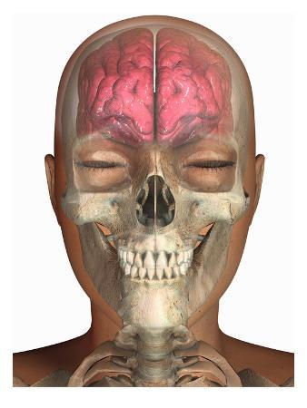 Biomedical Illustration of the Brain in Frontal View Superimposed on a Human Head