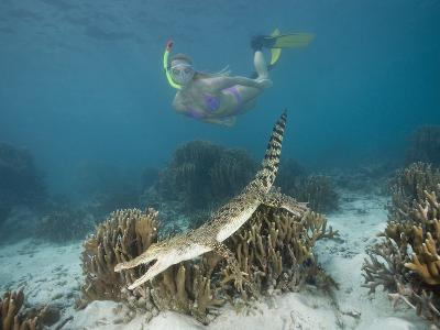 Snorkeler Skin Diver Near a Saltwater Crocodile Swimming over Coral Reef (Crocodylus Porosus)