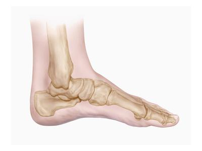 Biomedical Illustration of the Bones of the Human Foot and Ankle