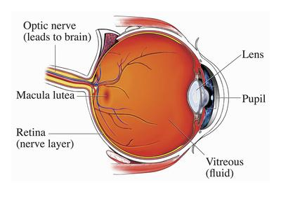 Illustration of the Normal Anatomy of the Eye from a Mid-Line Cut-Away View Showing the Optic Nerve