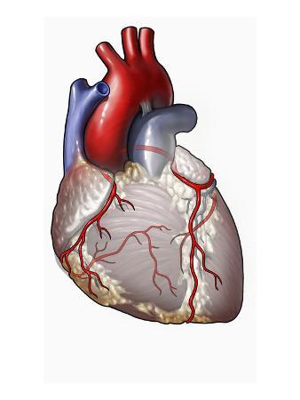This Anterior Illustration of the Heart Depicts the Aorta, Vencava, and Coronary Arteries