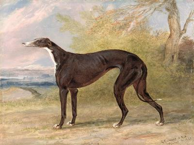 One of George Lane Fox's Winning Greyhounds: the Black and White Greyhound Bitch, Juno