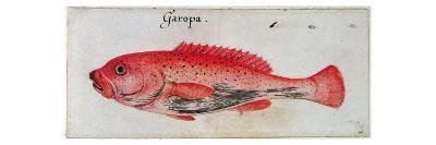 Grouper (Litho)